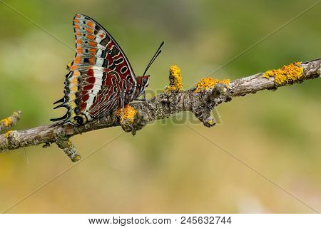 Chasxes Jasius, The Two-tailed Pasha Or Foxy Emperor, Is A Butterfly Of The Nymphalidae Family. Plac
