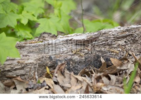 Brown phase green anole (Anolis carolinensis) on a rotting log poster