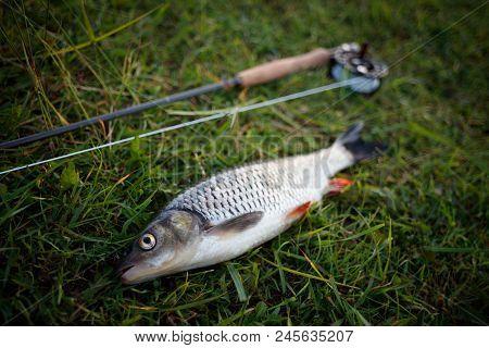 Fishing Fly Fishing Chub Lies On The Grass, Tackle For Fly Fishing, Rod, Reel, Flyline. Fishing Fly