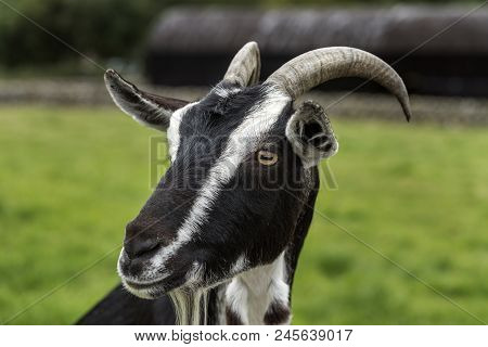 A Closeup Of A  Black & White Goats Face