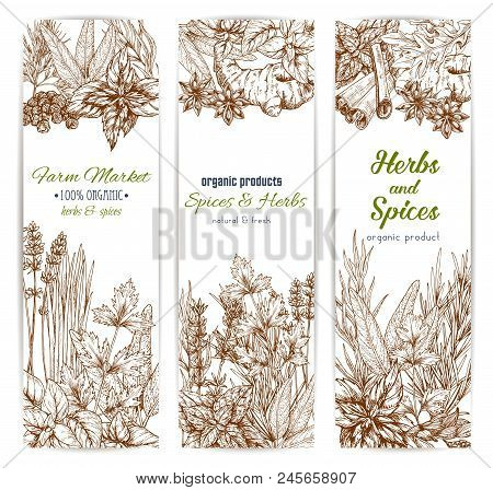 Herbs And Spices. Vector Banners Set Of Sketch Oregano, Dill And Parsley, Cinnamon, Lavender And Cil