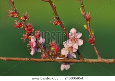 Pink Peach Flowers. Peach Branch Blossom In Spring