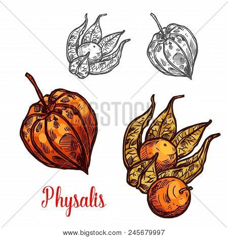 Physalis Fruit Sketch Of Flowering Plant Berry. Ripe Orange Ground Cherry, Cape Gooseberry Or Golden