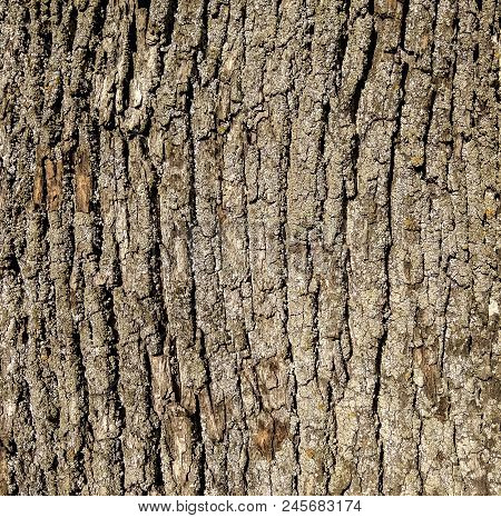Texture Of Bark In Old Ashtree - Fraxinus Americana Ashtree Is Widely Distributed In Eastern Europe,