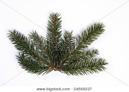 Twigs of the spruce