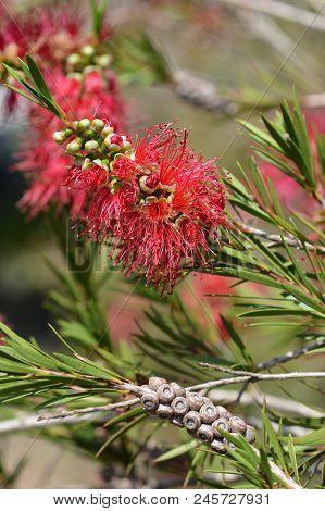 Scarlet Bottlebrush Flowers - Latin Name - Callistemon Coccineus F. Muell. Also Known As Melaleuca R