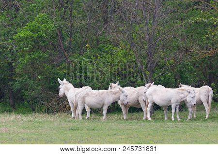 Group Of Natural White Donkeys Standing In Grassland