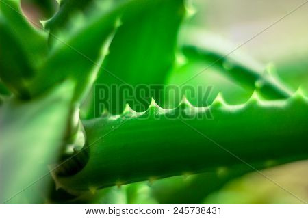 Green Plant, Plant With Needles, Medicinal Aloe, Plant Used In Cosmetology, Plant Close-up