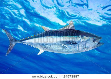 Bluefin tuna Thunnus thynnus saltwater fish underwater blue sea poster