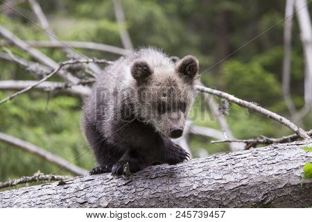 Bear Cub On Fallen Tree Crossing Legs Looking At Camera Scared And Unsure