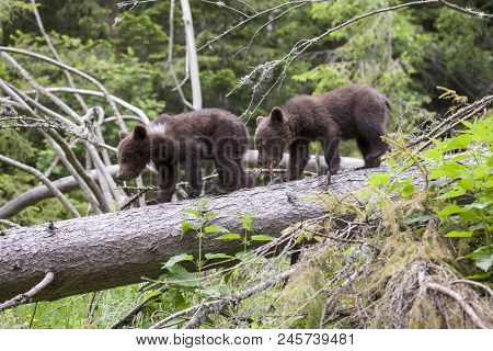 Brown Bear Cub Siblings Walking On Fallen Tree In Green Forest Tongue Out Yawning