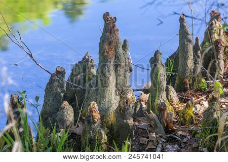 Cypress Knees By The Shoreline Of Mountain Fork River, Southeast Oklahoma