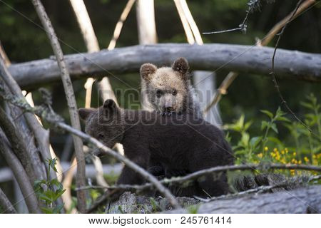 Bear Cubs In Thick Forest Holding Paw On Back Of Sibling Looking At Camera On Sunny Day