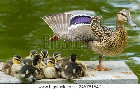 Close-up Of A Female Duck With Spread Wings And Her Beautiful Little Duck Babies. View To A Cute Lit