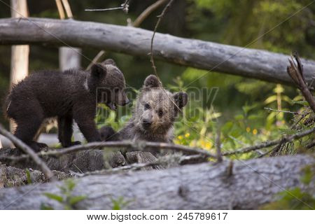Bear Cub Brother Siblings In Thick Green Forest Having Fun And Looking At Camera With Mouth Open