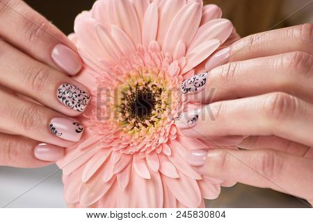 Female Hand Holding Gerbera Flower. Beautiful Female Hand With Beige Manicure Holding Peach Color Ge