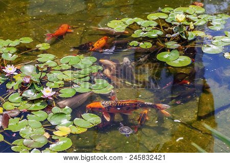 Lilies And Trout In The Pond Of The Riviera Park. Sochi. Around The Pond Walk Is A Pleasure! A Slowl