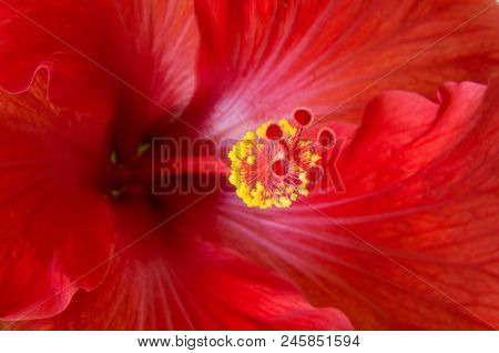 Red Hibiscus Flower Or Hibiscus Rosa Sinensis Closeup Revealing Pistil And Stamen Parts Wrapped Insi