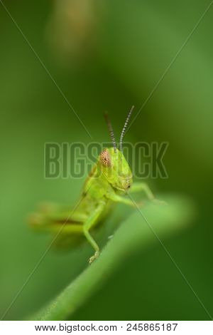 A Tiny Green Grasshopper On A Blade Of Grass With An All Green Background.