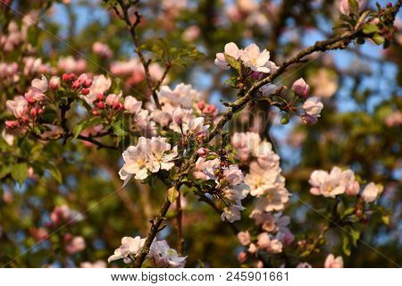 Pink Apple Tree Blossom With Flowers All Over