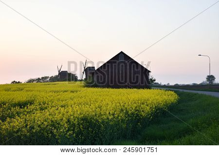 Evening View With Rapeseed Field And Windmills At The Swedish Island Oland