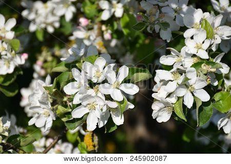 Beautiful Sunny White Apple Tree Flowers Closeup