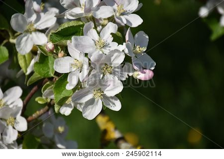 White Apple Tree Flowers On A Twig By A Natural Green Soft Background