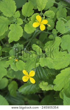 Celandine Plant Blooms  Flora  Flora Garden Green