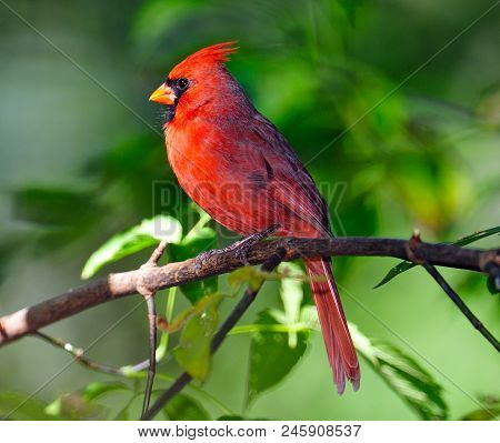 Male Northern Cardinal Sitting On Tree Branch