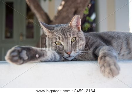 Healthy Pet - Happy Owner. Kitten In Patmos, Greece. Shorthair Cat Relax Outdoor. Cute Pet With Grey