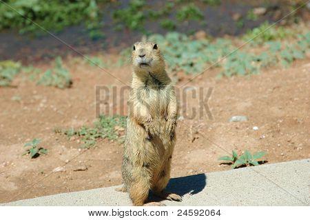 Desert Marmot