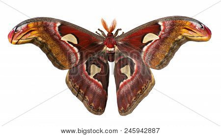 Male Giant Atlas Silk Moth, Attacus Atlas, Isolated On White Background. Atlas Moth Is One Of The La