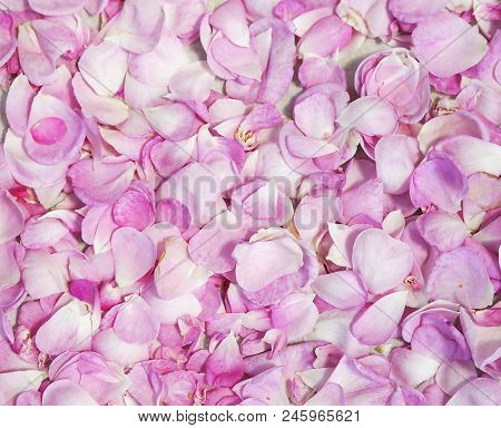 Rose Petals As Background
