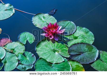 Lotus Flower Blossom, Water Lilly Blooming In The Pond, Sky And Cloud Reflection In Lotus Pond