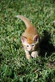Closeup of an Orange Kitten Taking a step forward on a Lawn poster