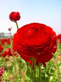 red ranunculus in carlsbad.  a lady bug is climbing upside down. poster