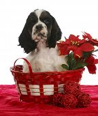 christmas puppy - american cocker spaniel sitting in a christmas basket poster