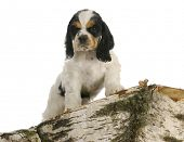 puppy exploring - american cocker spaniel puppy climbing on a piece of wood poster