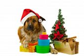 Big long-haired dog whit his christmas presents on white background poster