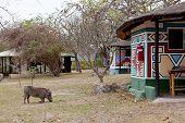 African warthog walking on a campsite near Kruger park poster