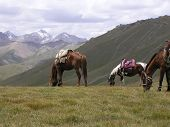 These horses are resting after carrying us up the mountain from Tash Rabat in the Tien Shan mountains. Kyrgyz horses are wonderful to ride and living at such high altitude have a lot of stamina. poster