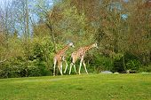 A pair of giraffes walking in the field poster