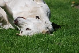 A White Labrador Dog Rolls On Grass Outdoors In Bright Sunny Weather. Taken In Upton-by-chester, Eng