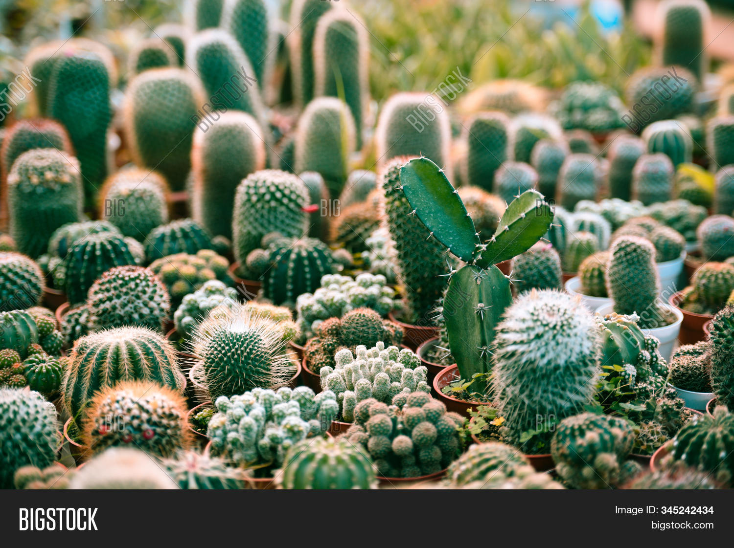 Miniature Cactus Pot Image Photo
