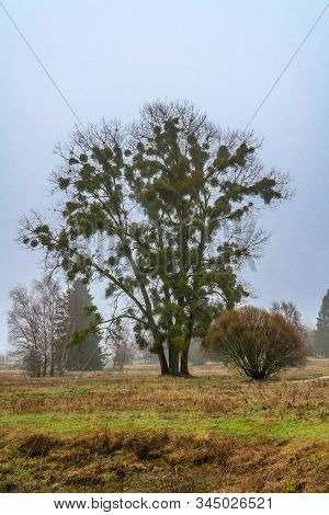 Tree With Mistletoe In The Park On Hazy Winter Day Without Snow.