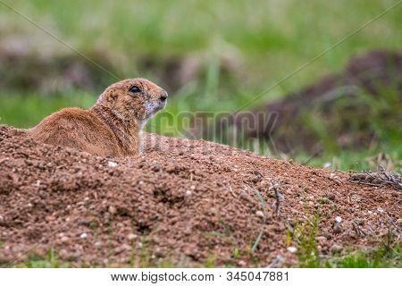 Prairie Dogs In Custer State Park, South Dakota