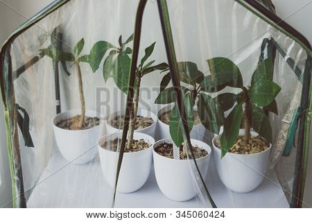 Group Of Small Frangipani Plants In Pots Into A Greenhouse Indoor,