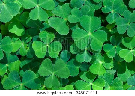 Natural green background with fresh three-leaved shamrocks.  St. Patrick's day holiday symbol.  Top view. Selective focus.