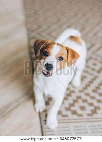 Adorable Puppy Jack Russell Terrier On The Capet At Home. Portrait Of A Little Dog.