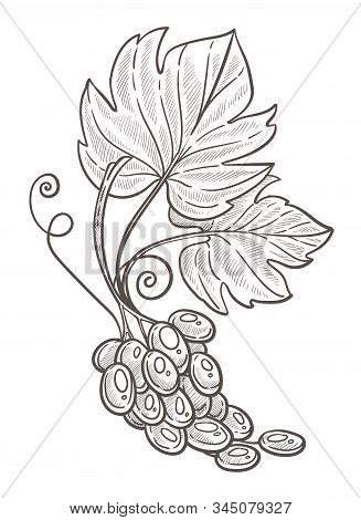 Grape Bunch With Leaves Isolated Sketch, Berries Cluster